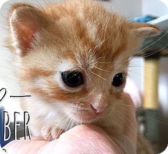Domestic Shorthair Kitten for adoption in Fort Leavenworth, Kansas - Amber
