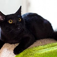Adopt A Pet :: Maleficent - Santa Monica, CA