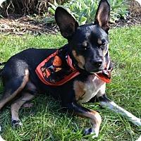 Adopt A Pet :: Gizmo (Courtesy Posting) - Malaga, NJ