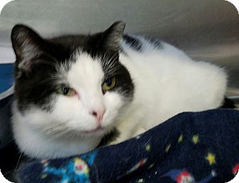 Domestic Shorthair Cat for adoption in Elyria, Ohio - Shayna