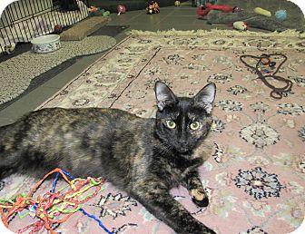 American Shorthair Kitten for adoption in Cannon Falls, Minnesota - PB Binx