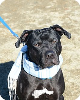 Pit Bull Terrier/Labrador Retriever Mix Dog for adoption in Gardnerville, Nevada - Chase