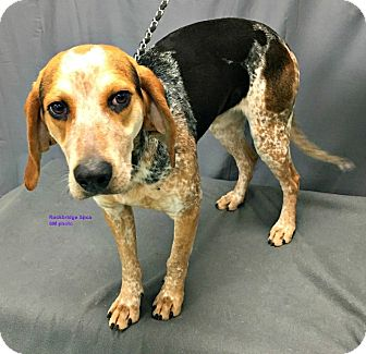 Hound (Unknown Type)/Coonhound (Unknown Type) Mix Dog for adoption in Lexington, Massachusetts - Brock