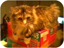 Domestic Mediumhair Cat for adoption in Proctor, Minnesota - Suzi