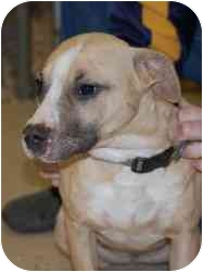 American Pit Bull Terrier Mix Dog for adoption in Gallatin, Tennessee - Ruby