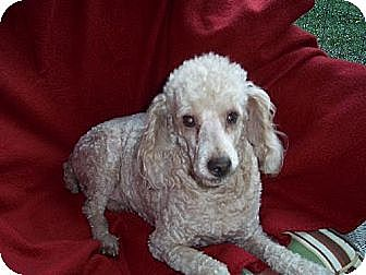 Poodle (Miniature) Mix Dog for adoption in Homer, New York - Bailey