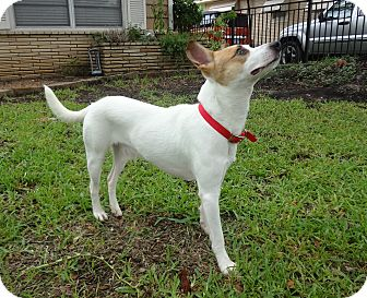 Jack Russell Terrier Mix Dog for adoption in Austin, Texas - Max in Houston