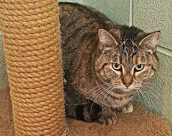 Domestic Shorthair Cat for adoption in Crossville, Tennessee - Lola