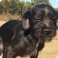 Adopt A Pet :: Torch - Staunton, VA