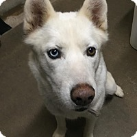 Adopt A Pet :: Snowflake - Geneseo, IL