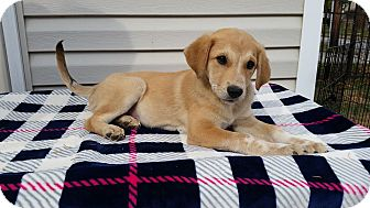 Australian Cattle Dog Mix Puppy for adoption in New Oxford, Pennsylvania - Hank