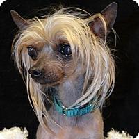 Adopt A Pet :: Tank-Adoption pending - Bridgeton, MO