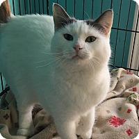 Adopt A Pet :: Darcy - Berkley, MI