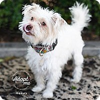 Adopt A Pet :: Honey - Santa Monica, CA