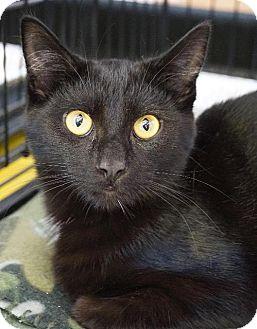 Domestic Shorthair Cat for adoption in Wauconda, Illinois - Midnight