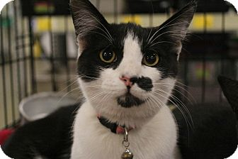 Domestic Shorthair Cat for adoption in Rosamond, California - Gertie