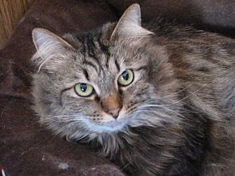 Domestic Longhair Cat for adoption in Harrisburg, North Carolina - Ava