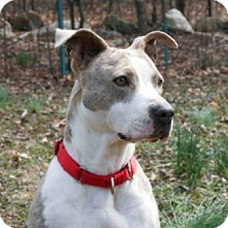 Terrier (Unknown Type, Medium)/American Pit Bull Terrier Mix Dog for adoption in Milton, Massachusetts - Lacey