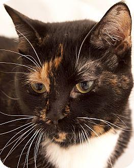 Domestic Shorthair Cat for adoption in Chaska, Minnesota - Amber
