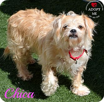 Lhasa Apso/Chihuahua Mix Dog for adoption in Youngwood, Pennsylvania - Chica