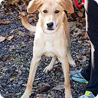 Great Pyrenees Mix Dog for adoption in Newburgh, Indiana - Nikki
