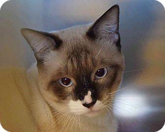 Siamese Cat for adoption in Sierra Vista, Arizona - Mack