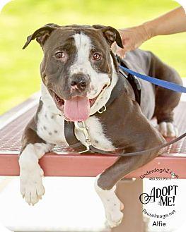 American Bulldog/Staffordshire Bull Terrier Mix Dog for adoption in Chandler, Arizona - ALFIE