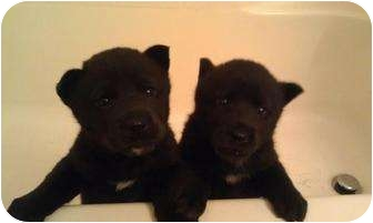 Siberian Husky/Chow Chow Mix Puppy for adoption in Bakersfield, California - Jack