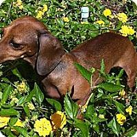Adopt A Pet :: Fawn-Adoption Pending - San Jose, CA