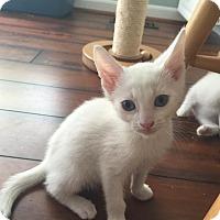 Adopt A Pet :: Stratus - Union, KY