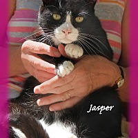 Domestic Shorthair Cat for adoption in Waterbury, Connecticut - Jasper