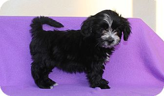Shih Tzu Mix Puppy for adoption in Los Angeles, California - Dumpling