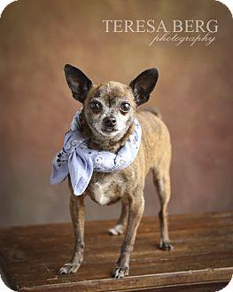 Chihuahua Mix Dog for adoption in McKinney, Texas - Sawyer