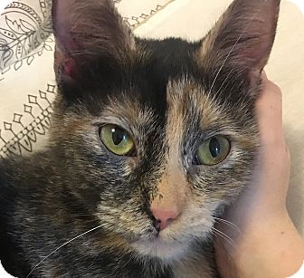 Domestic Shorthair Kitten for adoption in Hainesville, Illinois - Tortellini