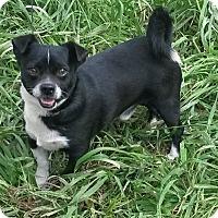 Adopt A Pet :: Tater - East Hartford, CT