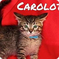 Adopt A Pet :: Carolotta - Batesville, AR