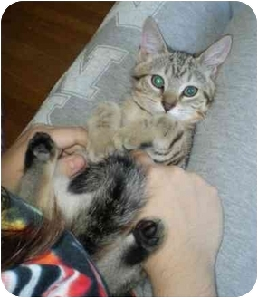 Domestic Shorthair Kitten for adoption in Boston, Massachusetts - Holly and Lilly