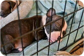 American Pit Bull Terrier Mix Puppy for adoption in Mesa, Arizona - Rambo