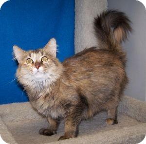 Domestic Mediumhair Cat for adoption in Colorado Springs, Colorado - Talia