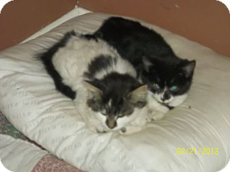 Domestic Shorthair Kitten for adoption in Daleville, Alabama - James and Frankie