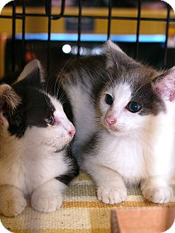 Domestic Shorthair Kitten for adoption in Pittstown, New Jersey - Jaxy and Alex