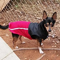 Chihuahua Dog for adoption in Loganville, Georgia - Taco