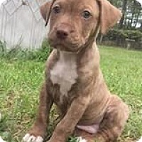 Adopt A Pet :: Steel - Gainesville, FL