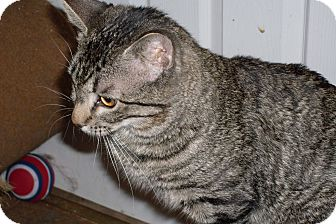 Domestic Shorthair Cat for adoption in Buhl, Idaho - Howie