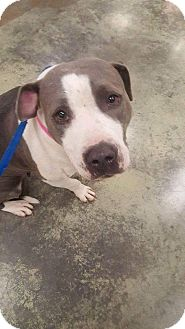 American Staffordshire Terrier/American Pit Bull Terrier Mix Dog for adoption in Covington, Tennessee - Jada