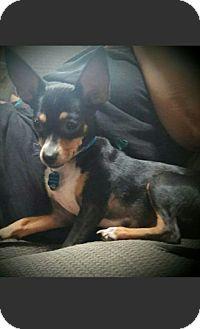 Chihuahua Mix Puppy for adoption in PHOENIX, Arizona - Ricky