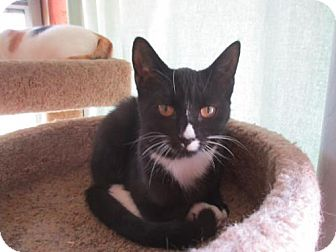 Domestic Shorthair Cat for adoption in Colonial Beach, Virginia - Pia