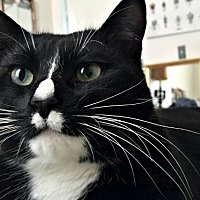 Domestic Shorthair Cat for adoption in Brooklyn, New York - Nugs, the Dapper Green-eyed Tux!