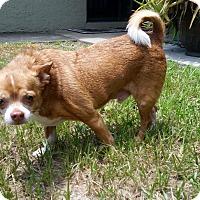 Adopt A Pet :: Poncho - S. Pasedena, FL