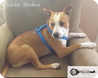 Staffordshire Bull Terrier Mix Dog for adoption in DeForest, Wisconsin - Charlie Brown